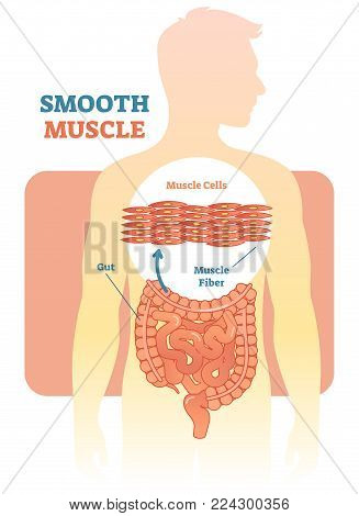 Smooth muscle vector illustration diagram, anatomical scheme with human gut. Medical educational information.
