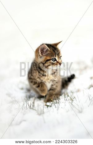 A fuzzy, grey, Domestic Horthair Taby Cat kitten, with black stripes, is sitting in the snow on a winter day.