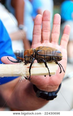 Adult Elephant Beetle