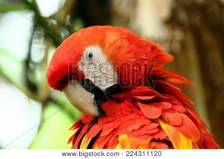 Face of The scarlet macaw (Ara macao) is a large red, yellow, and blue South American parrot, a member of a large group of Neotropical parrots called macaws.