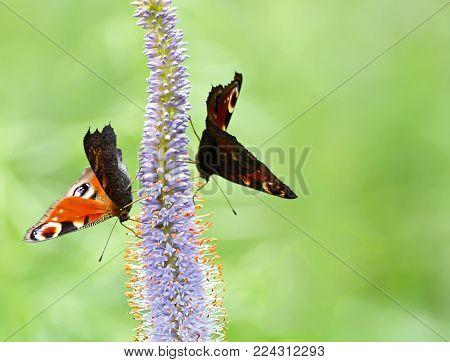 Rhopalocera butterflies( Papilionoformes or Diurna or Rhopalocera) вЂ