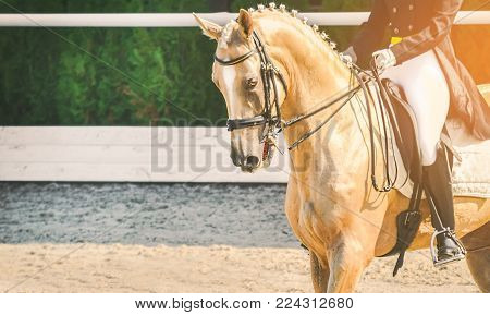 Elegant rider woman and cremello or pearl horse. Beautiful girl at advanced dressage test on equestrian competition. Professional female horse rider, equine theme. Saddle, bridle, boots and other details.