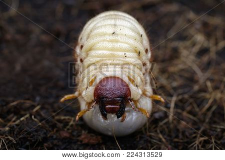 Image of grub worms, Coconut rhinoceros beetle (Oryctes rhinoceros), Larva on the ground.