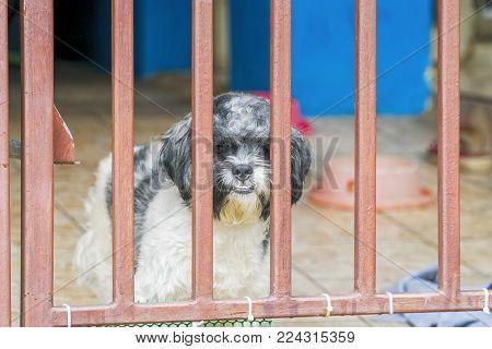 Cute Shih Tzu Dogs On Fenced Windowsill, Looking At Camera.
