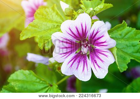 Mallow flower or forest mallow, in Latin Malva sylvestris. Flower background with mallow flower in the summer garden. Closeup of mallow flower