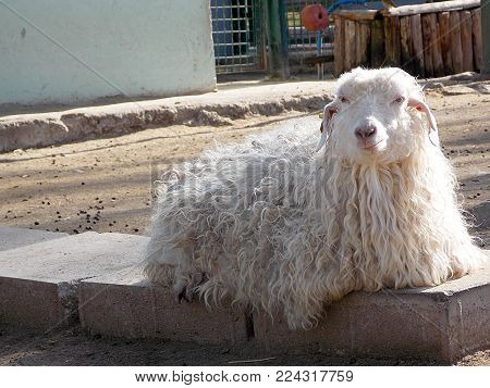 stubborn goats waiting for the cutting of hair