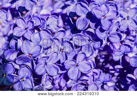 Spring lilac flowers blooming in the garden, spring flower background. Closeup of blooming spring lilac flowers. Natural spring background, spring lilac flowers in sunny spring weather. Spring lilac flowers, landscape view