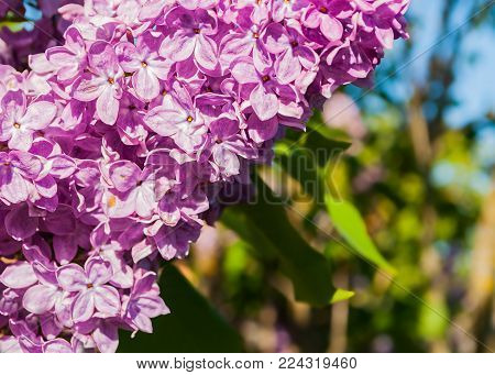 Spring lilac flowers, spring flower background. Selective focus at the lilac flowers. Spring flower background with spring lilac flowers blooming in the spring garden. Sunner spring flower scene, free space for text