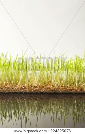 Fresh micro greens closeup isolated at white background reflecting in glass table. Growing wheat sprouts for healthy salad. Eating right, stay young and modern restaurant cuisine concept