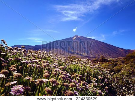 View of volcano El Teide with beautiful mountain flowers in the foreground.Mount Teide in spring.Teide National Park,Tenerife,Canary Islands,Spain.Selective focus.