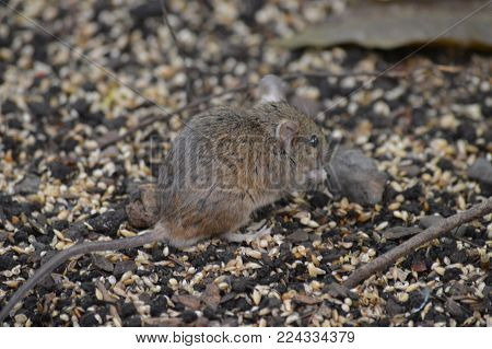 A small gray field mouse on the ground