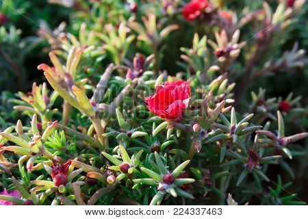 Beautiful summer bush with pink flowers. Closeup of rosy blooming of green outdoor plant, bright flowerbed, copy space