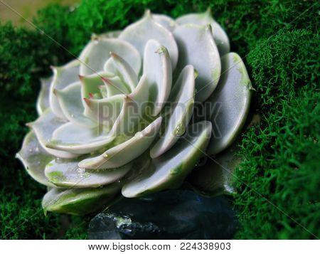 Succulent Echeveria Cactus Flower Stone Rose Moss Plant Macro Photo