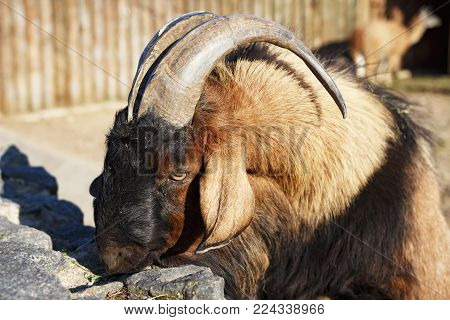 Mountain goat in the zoo. Portrait of an animal ram with big horns in the zoo