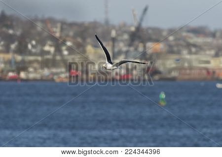 Great Black-backed Gull in flight wings high against harbor and city background