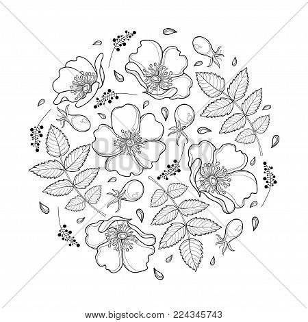 Vector round composition with outline Dog rose or Rosa canina, medicinal herb. Ornate flower, leaf and hip isolated on white background. Wild rose in contour for summer design and coloring book.