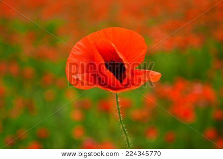 Poppy flower field, harvesting. Drug and love intoxication, opium, medicinal. Remembrance day, Anzac Day, serenity. Opium poppy, botanical plant, ecology. Summer and spring, landscape. narcotics