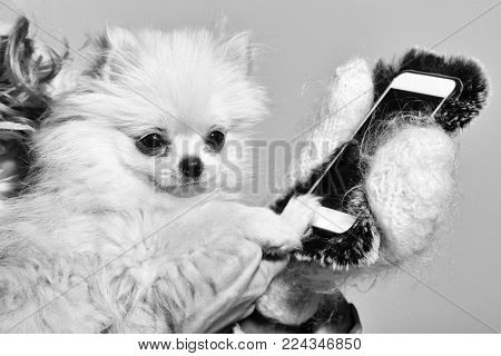 Cute pomeranian dog or puppy pet, with fawn coat using smartphone, mobile phone, in cute, faux fur cover in female hands wearing white woollen mittens on grey background