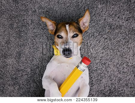 Charming jack russell dog lying back on gray background with yellow tied bow and large pen, looking at camera Smart dog selfie concept, top view