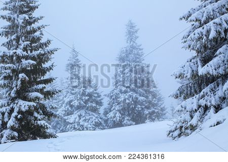 On the lawn covered with white snow there is a trampled path that lead to the dense forest in nice winter day. Big fluffy fir trees a foggy morning. Winter textured background.