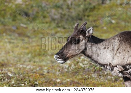 Close-up of a young barren-ground caribou, rangifer tarandus groenlandicus, with the green tundra in the background in August near Arviat, Nunavut
