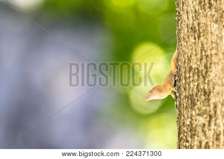 The small light brown lizard on the tree. Anolis distichus in Caribbean islands. The reptile in the natural environment. Sitting in the sunlight. Green blurred background. Blurred place for your text.
