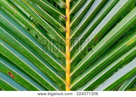 Striped palm leaf. Abstract green texture. Symmetric coco palm leaf. Green palm leaf in sunlight. Sunny day exotic nature wallpaper. Tropical island summer. Vacation in tropics banner template.