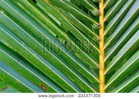 Striped palm leaf. Shifted center. Abstract green texture. Coco palm leaf. Green palm leaf in sunlight. Sunny day exotic nature wallpaper. Tropical island summer. Vacation in tropics banner template