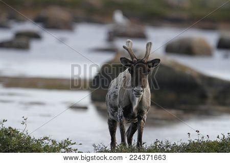 Barren-ground caribou, rangifer tarandus groenlandicus, standing on tundra near water in late summer, Arviat Nunavut