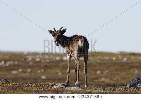 Young barren-ground caribou, rangifer tarandus groenlandicus, standing on the green tundra in August, Arviat Nunavut