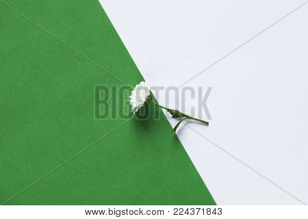 Single daisy on a green and white background - One delicate white daisy displayed part on a green paper and part on a white paper background.