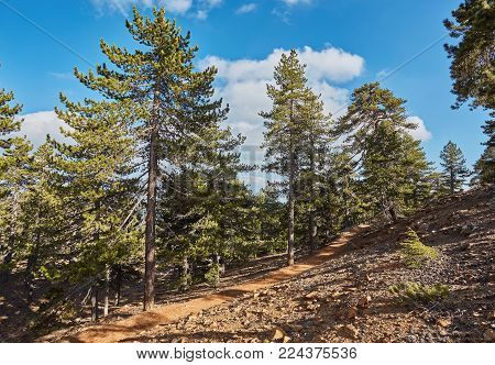 Fir tree on a nature trail at Troodos mountain range in Cyprus