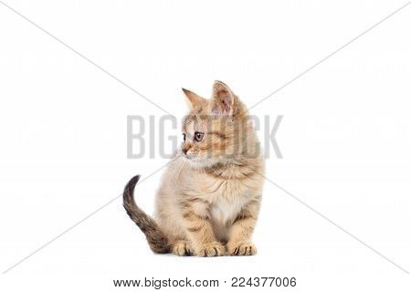 Scottish Straight kitty light colored with stripes of fluffy colors on white isolated background.