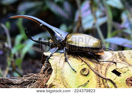 The Hercules beetle aka rhino beetle,the largest extant beetle in the world sits on a log in its environment.