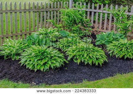 Solomon's seal and hosta plants in a home shade garden.