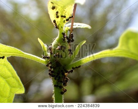 Black ants in the plants / Ants are amazing creatures known for their strength and ingenuity