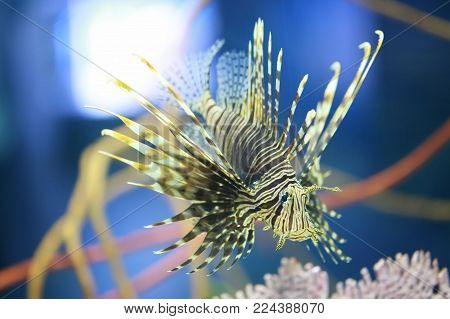 Lion fish are swimming in the coral reef,Marine fish are poisonous but are beautiful.