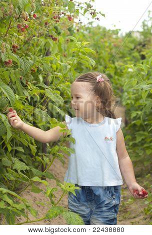 Little Girl Gathering Raspberries