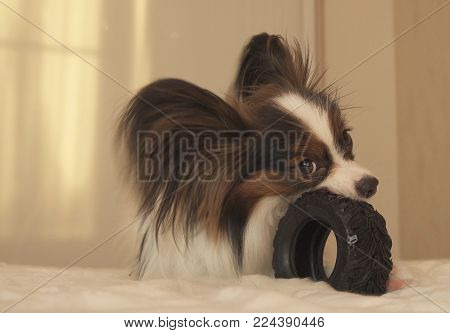 Young dog breeds Papillon Continental Toy Spaniel gnaws a rubber tire - a fun tire changer