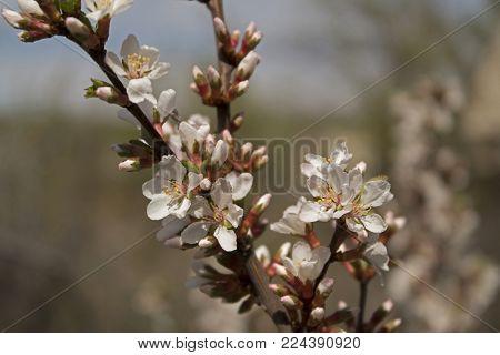 Flowering branch of plum tree.  Nature background. Plum tree. Flowering branch. Spring background.