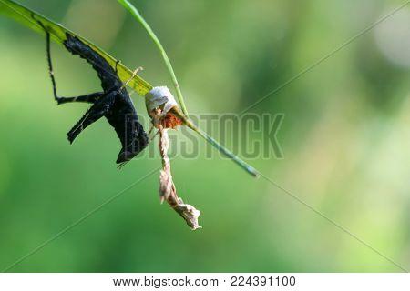 The black grasshopper under the leaves in the garden