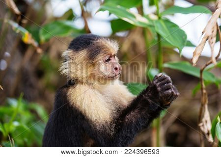White faced capuchin monkeys  forest in Costa Rica, Central America