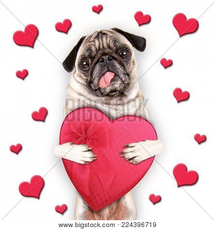 cute pug with her tongue hanging out holding a heart shaped box of chocolate candy on a white background