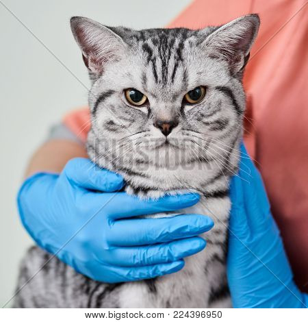 Scottish straight cat in veterinary clinic during examination