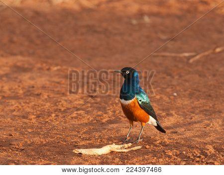 Superb Starling (Lamprotornis superbus) in Tarangire National Park