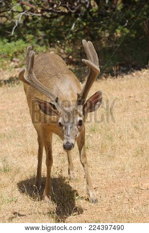 closeup of a Californian Black-tailed buck in velvet