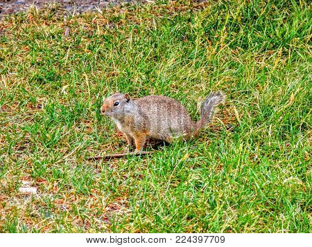 Close Up Of A Ground Squirrel Between Eating Grass In Zions National Park Utah
