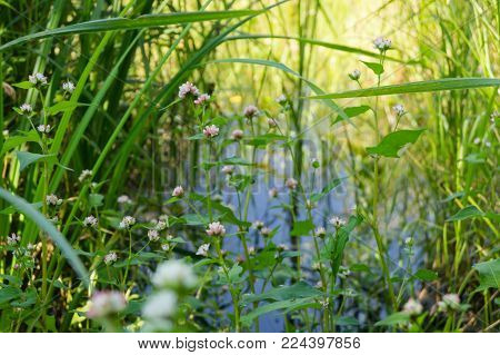 Swamp flowers on the background of a watery surface