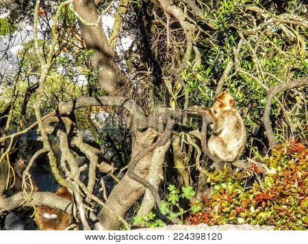 Monkey Gazing Off Sitting On A Tree. The Barbary Macaque Population In Gibraltar Is The Only Wild Mo