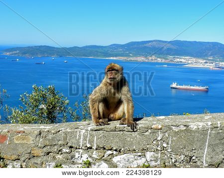 Monkey Gazing Off Sitting On A Rock. The Barbary Macaque Population In Gibraltar Is The Only Wild Mo